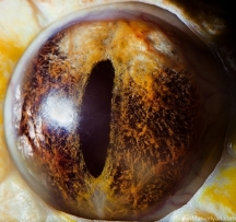 eye albino tiger python