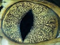 eye caiman
