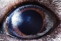 eye guinea pig