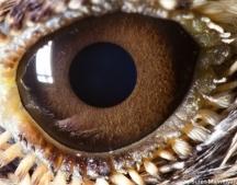 eye lark