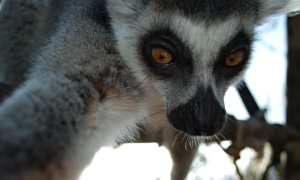Bekily the lemur