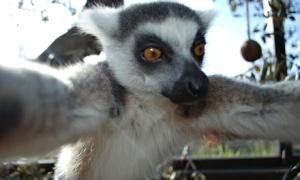 Lemur takes selfie