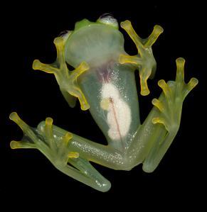 Image: Brian Kubicki, Costa Rican Amphibian Research Centre